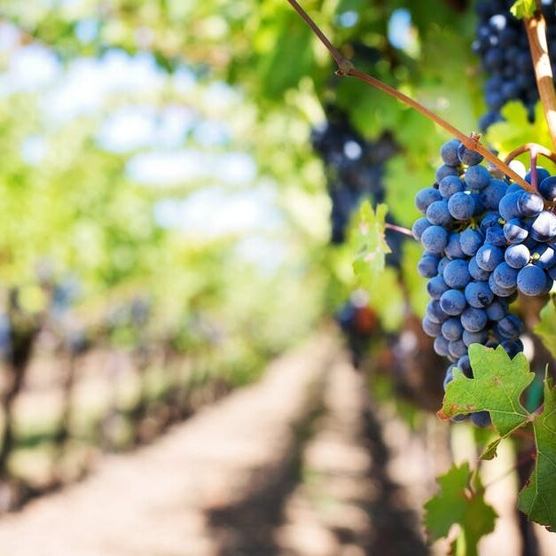 purple-grapes-vineyard-napa-valley-napa-vineyard-39511